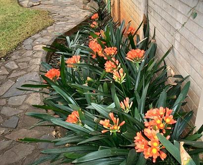 Plants, clivias, South Africa, Centurion