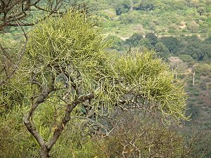 What an adult tree looks like. Euphorbia tirucalli. South Africa, Centurion