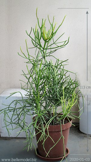 The actual plant that is for sale - euphorbia tirucalli. South Africa, Centurion